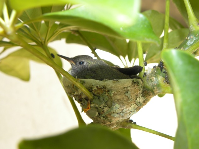 nest, bird, hummingbird