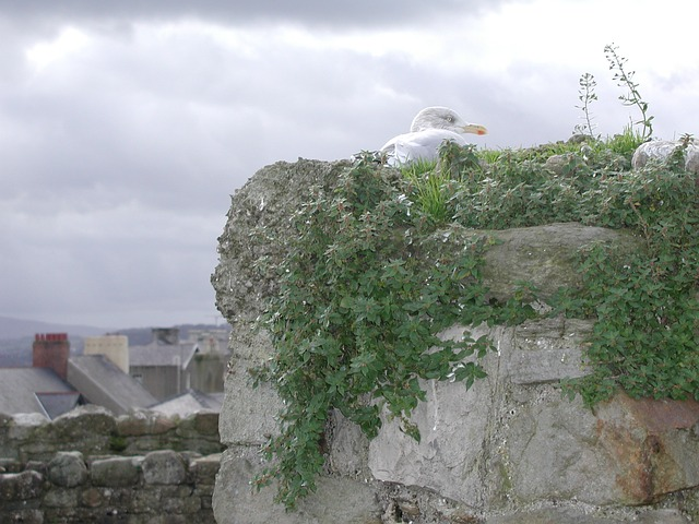 nesting seagull, seagull, nest, bird, animal