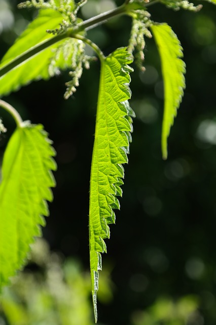 nettle leaves, leaves, stinging nettle, shine through