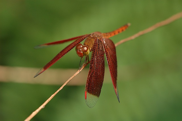 neurothemis, dragonfly, insect, stem, nature, outside