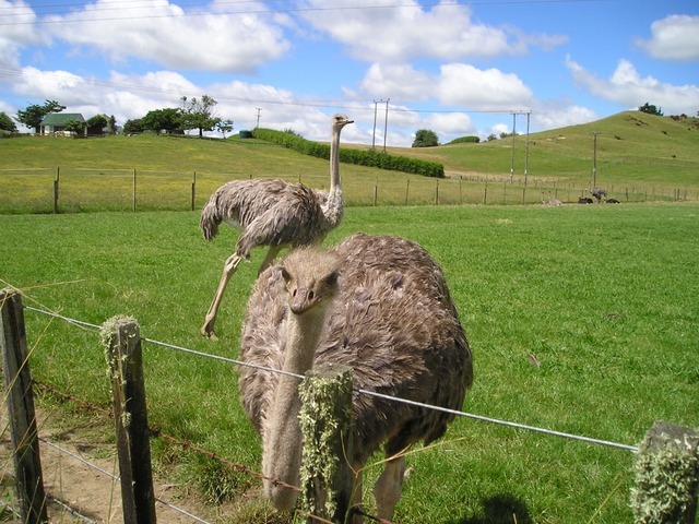 new zealand, bouquet, ostrich farm, bird, pets, nature