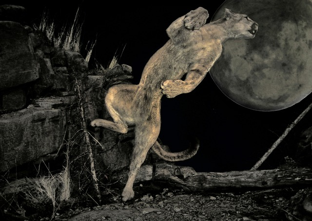 night scene cougar, puma, bergloewe, wild, animal