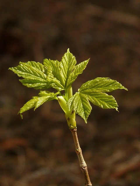 norway maple, acer platanoides, aceraceae, sprout