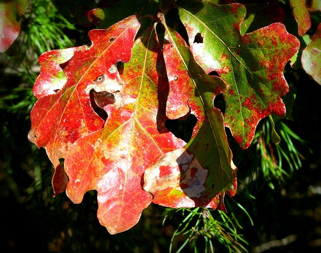 oak leaves, fall, autumn, october, red, green, yellow