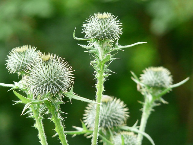 off thistle, carduus acanthoides, prickly thistle