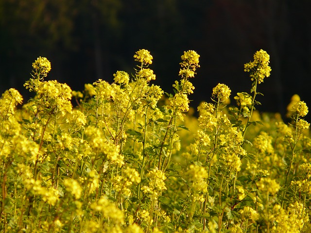 oilseed rape, rapsfeld, flower, plant, yellow