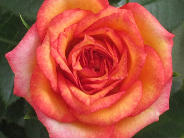 orange, rose, flower, rose bloom, fragrance, beauty