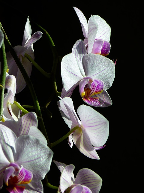 orchid, butterfly orchid, phalaenopsis, pink, flower