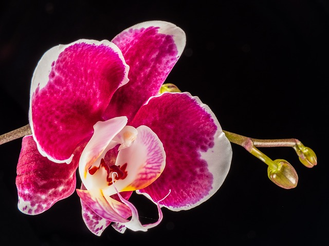 orchid, flower, red white, close
