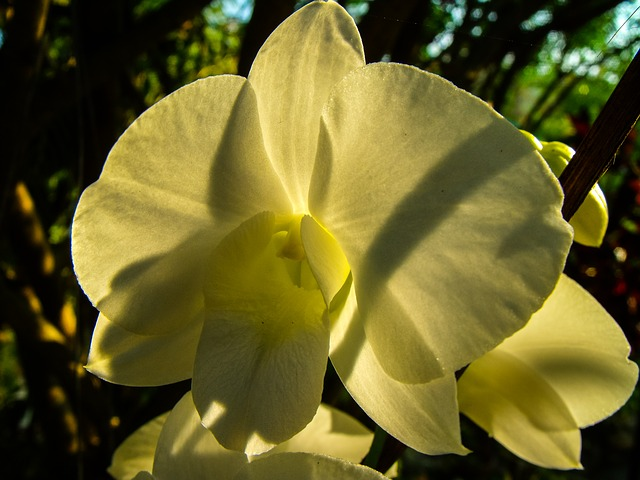 orchid, flower, white, back light, close