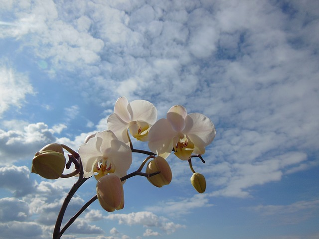 orchid, phalaenopsis, flower, bloom, plant white