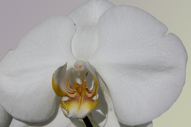 orchid, white, flower, flora, nature, queen of flowers