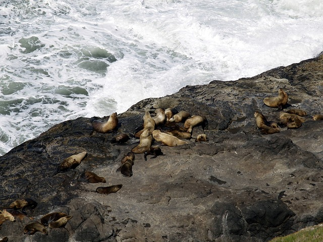 oregon, coast, shoreline, pacific, seals, animals, rock