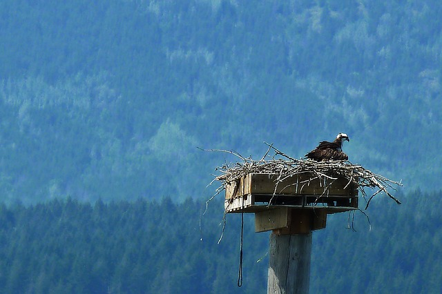 osprey, bird, nature, animal, nesting