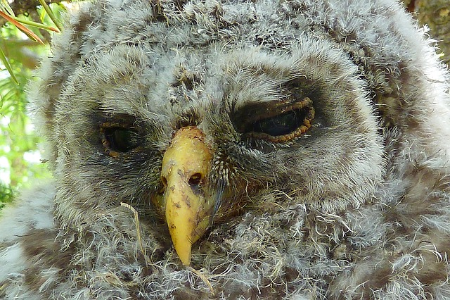 owl, chick, feather, bird, macro, wildlife, young