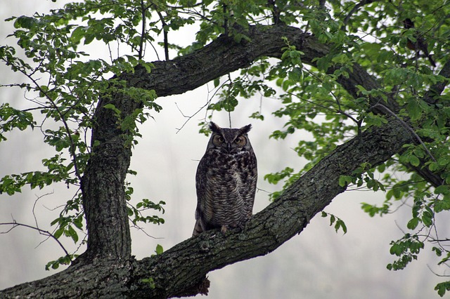 owl, great, horned, hoot, barn, tree