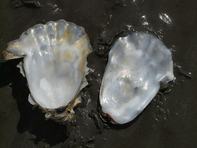 oyster, shell, mother of pearl, gloss, valuable
