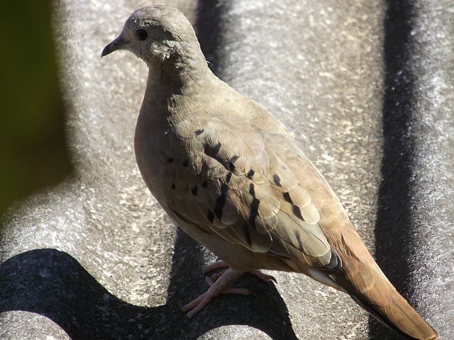 paige, ruddy ground dove, dove, pity, fly, bird, birdie