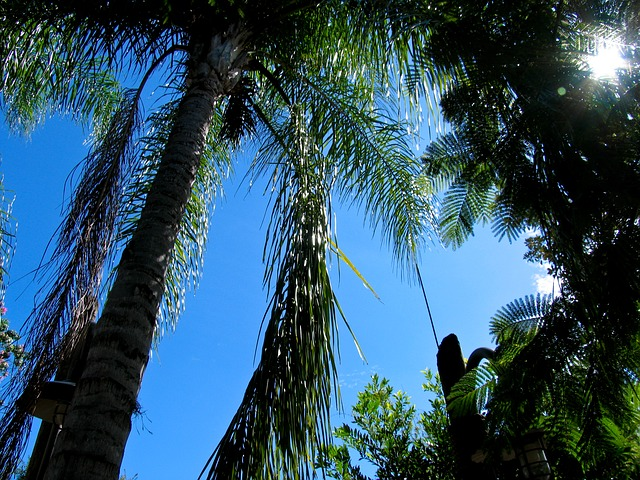 palm, tree, palms, blue, sky, florida