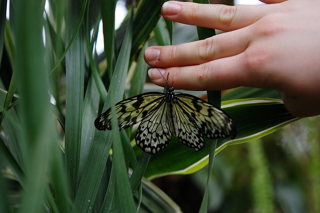 papilio machaon, butterfly, animal, hand