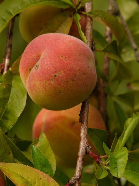 peach, peach tree, malum persicum, fruit, ripe, juicy