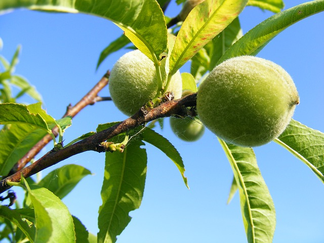 peach, persica, prunus, unripe, fruit