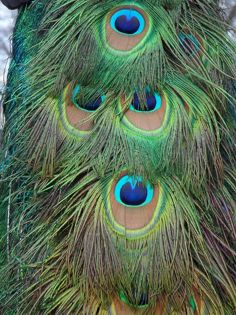 peacock, peacock feathers, feather, bird, close