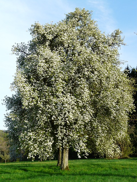 pear, pear blossom, flower, orchard, bloom, white, tree