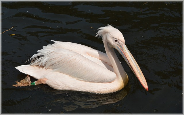pelican, pink, young, nature, bird, water bird, animal
