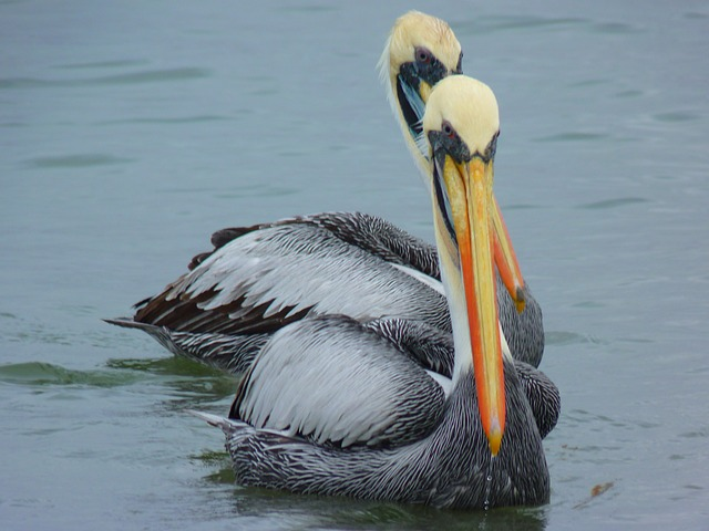 pelicans, couple, water, bird, fish, animal, nature