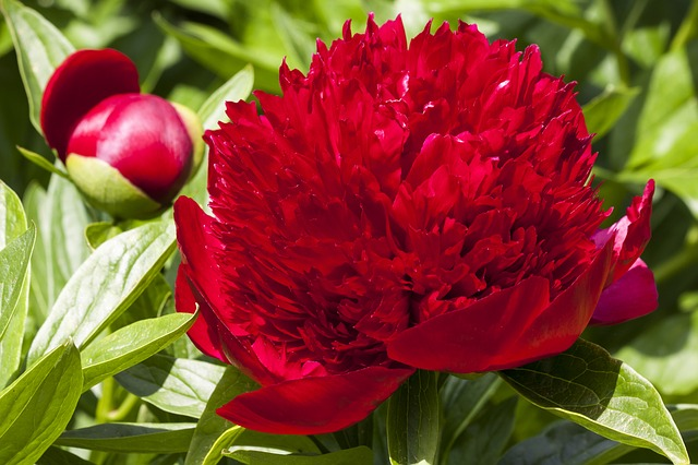 peony, flower, nature, flora, spring, ornamental plant