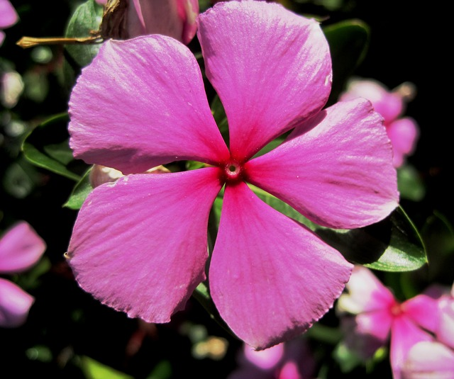 periwinkle, pink, 5 petals, simple, pretty