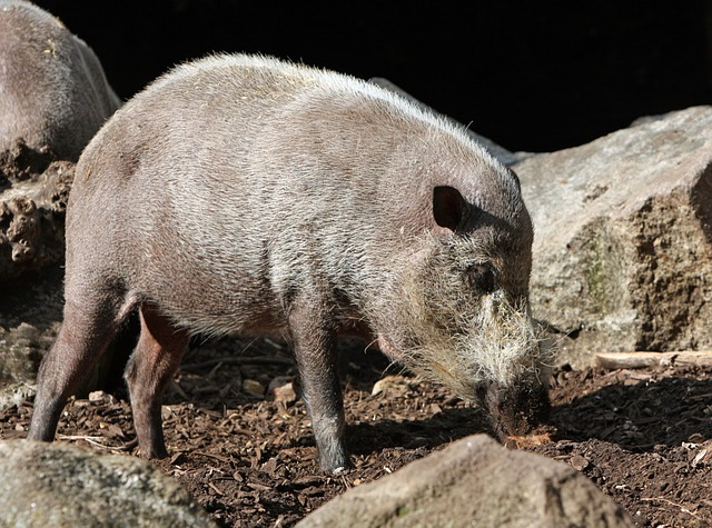 pig, bearded pig, animal, wild, wildlife, nature, photo