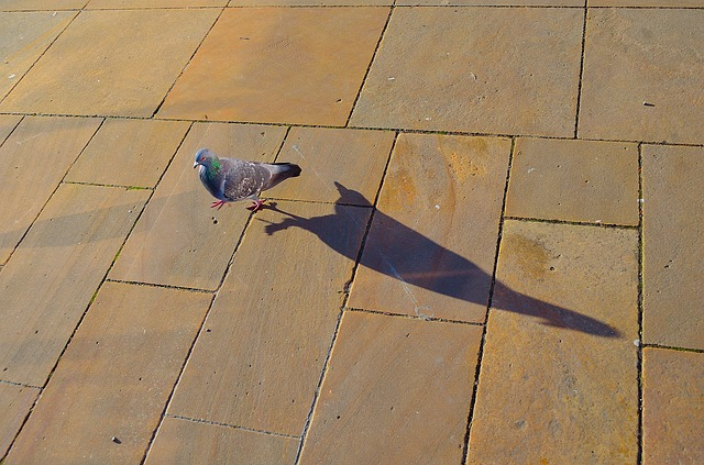pigeon, bird, shade, animal, walking, background