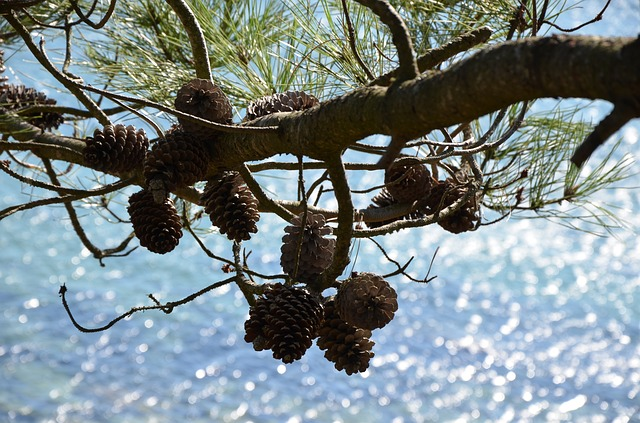 pine cones, pine, sea, nature, sun, water, tree, green