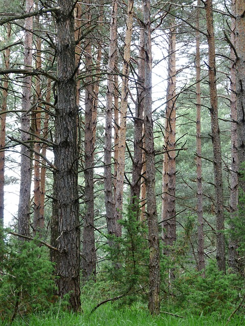 pine forest, forest, trees, tree trunks, forestry, pine