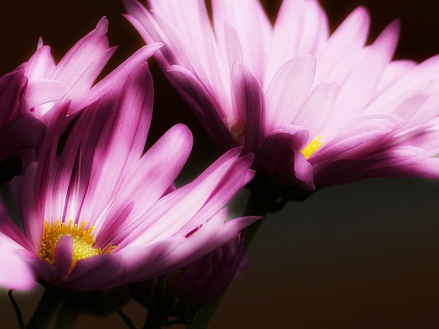 pink, aster, glowing, macro, plant flower, nature