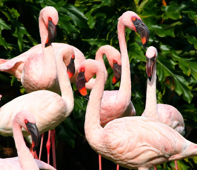 pink flamingos, water birds, fowl, colony, flock
