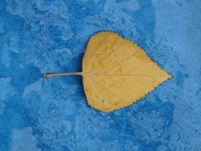 poplar leaf, yellow, fall color, journal, leaves