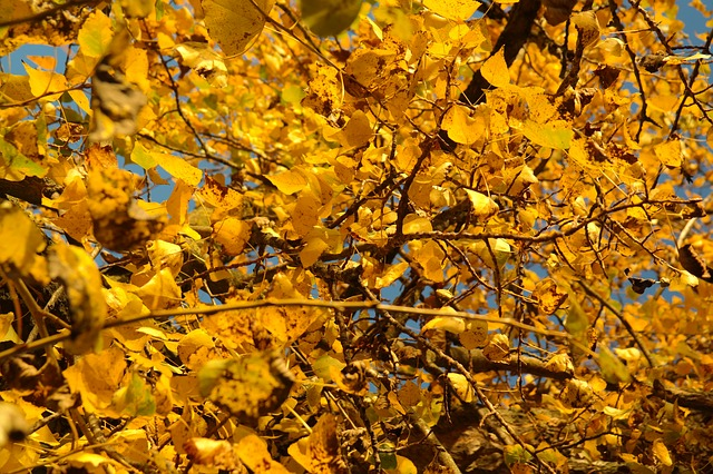 poplar leaves, leaves, autumn, golden autumn