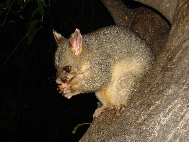 possum, wildlife, marsupial, animal