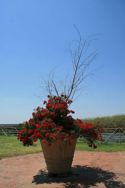 pot, large, tall, bush, rose, red, branches, dried out