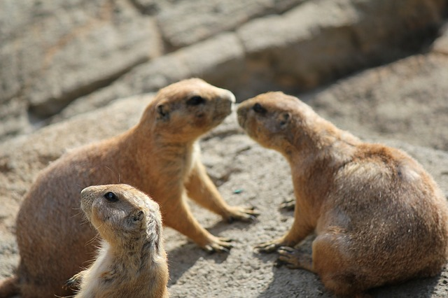 prairie dog, animals, rodent, alert, zoo