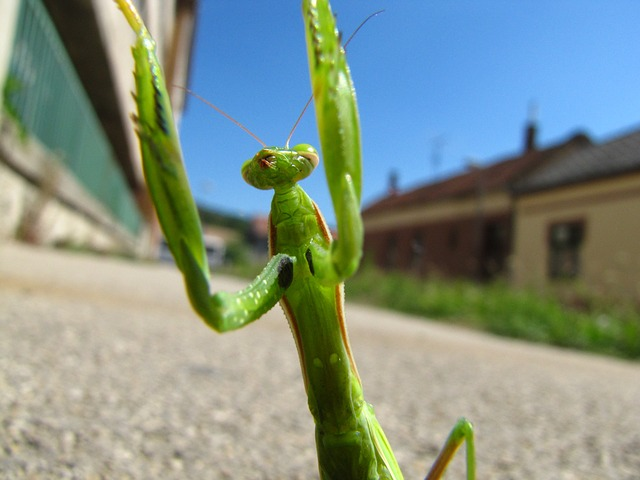 praying mantis, animal, street, bug, houses