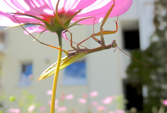 praying mantis, insect, green, flower, purple, macro