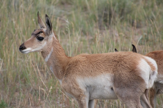 pronghorn, usa, wild, animal, bryce, antelope