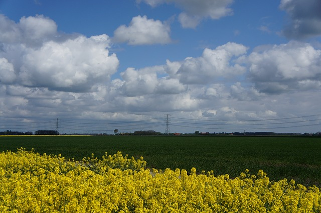 rapeseed, yellow, landscape, nature