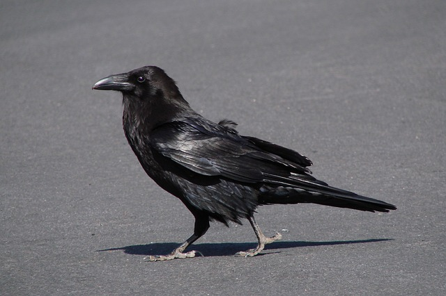 raven, crow, bird, fly, creepy, dig