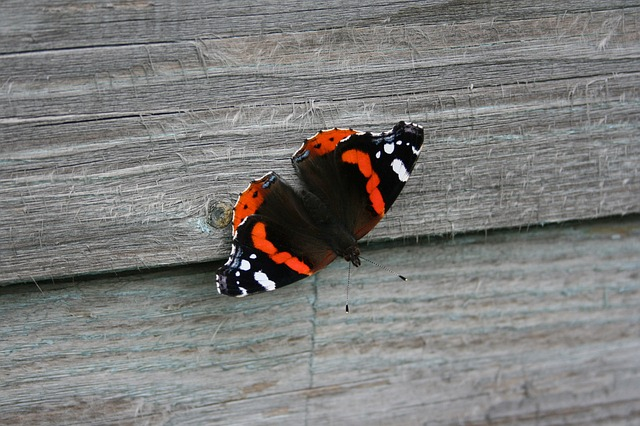 red, admiral, butterfly, animal
