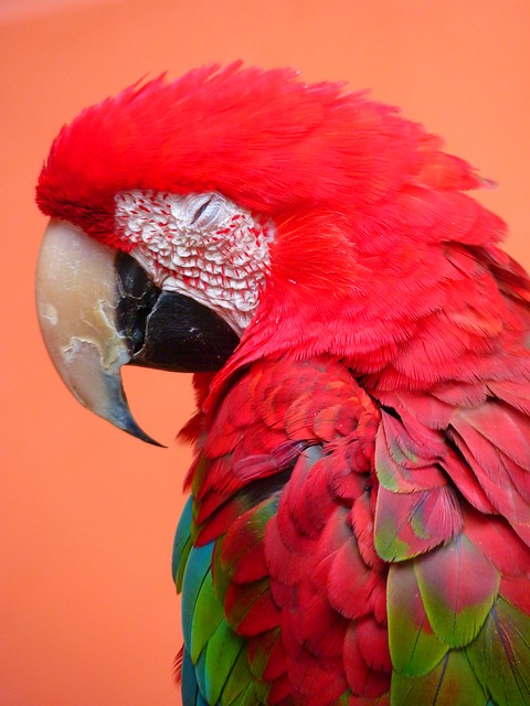 red ara, ara erythrocephala, parrot, bird, colorful